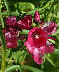 SIDALCEA (PRAIRIE MALLOW) (CHECKER BLOOM) OREGANA 'BRILLIANT' I (25 P.BAG)