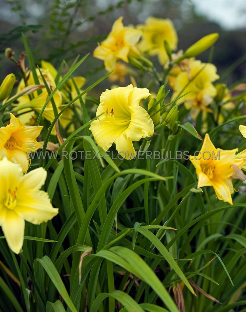 super value pkgs hemerocallis daylily stella doro ii 20 pkgsx 7