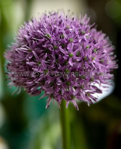 SUPER VALUE PKGS. MISCELLANEOUS ALLIUM 'GLADIATOR' 18/20 CM. (20 PKGS.X 5)
