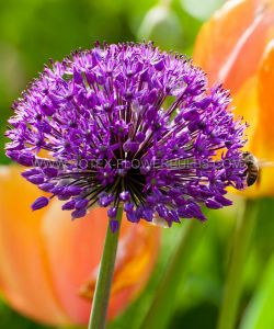 SUPER VALUE PKGS. MISCELLANEOUS ALLIUM 'PURPLE SENSATION' 10/12 CM. (20 PKGS.X 25)