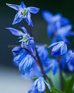 SUPER VALUE PKGS. MISCELLANEOUS SCILLA SIBERICA 7/8 CM. (20 PKGS.X 50)