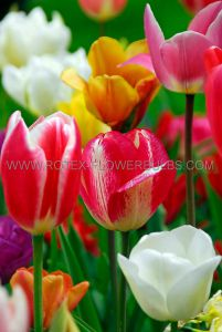 SUPER VALUE PKGS. TULIPA DARWIN HYBRID ASSORTED 12/+ CM. (20 PKGS.X 25)