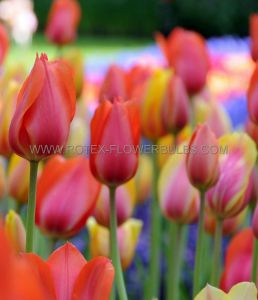 SUPER VALUE PKGS. TULIPA DARWIN HYBRID 'VAN EYK MIX' 12/+ CM. (20 PKGS.X 25)