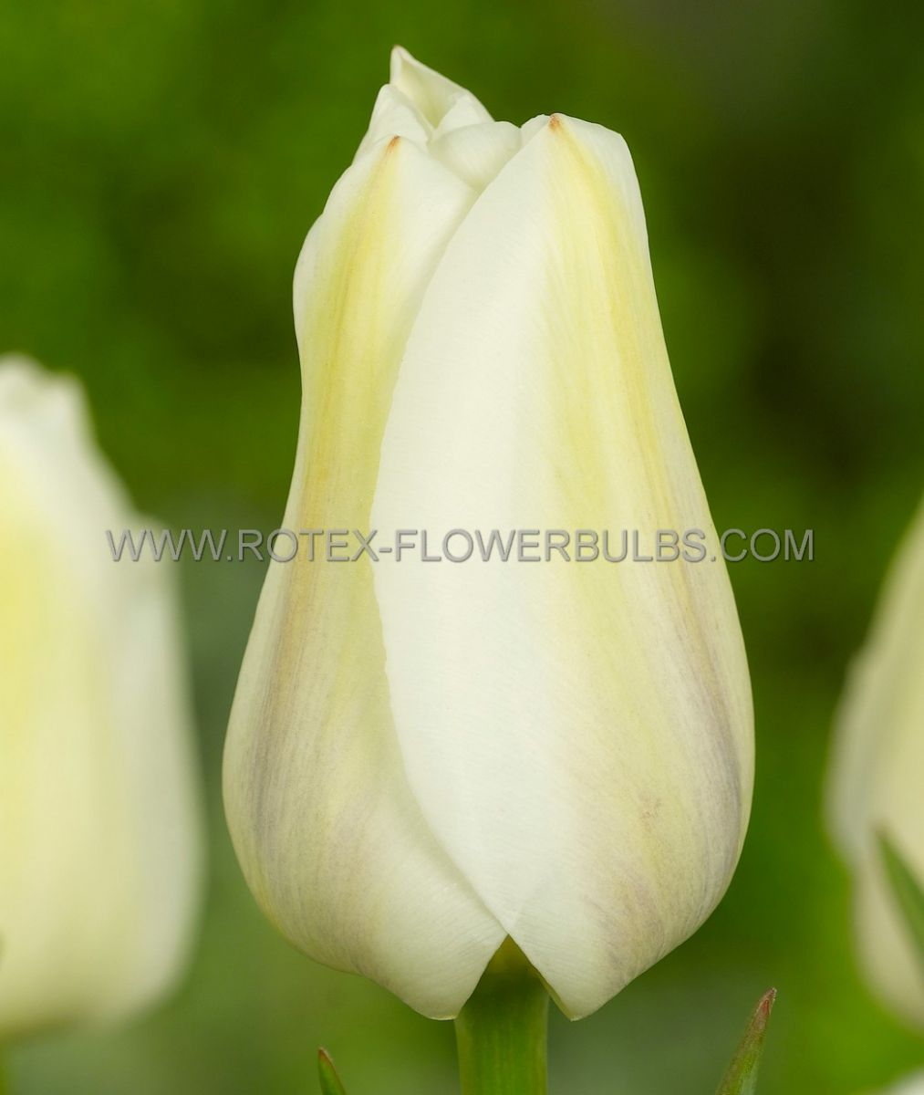 super value pkgs tulipa single late angels wish 12 cm 20 pkgsx 25