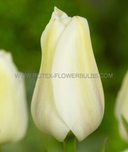 SUPER VALUE PKGS. TULIPA SINGLE LATE 'ANGEL'S WISH' 12/+ CM. (20 PKGS.X 25)