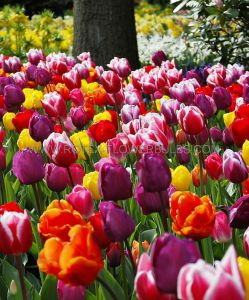 SUPER VALUE PKGS. TULIPA TRIUMPH ASSORTED 12/+ CM. (20 PKGS.X 25)