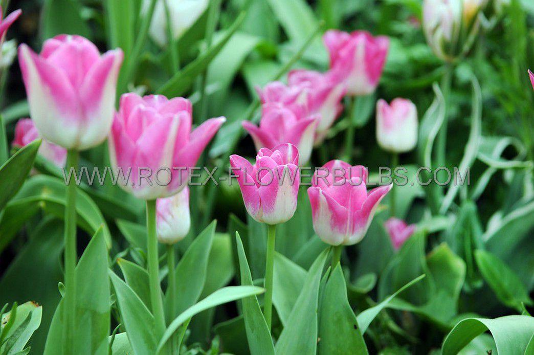 super value pkgs tulipa triumph innuendo 12 cm 20 pkgsx 25