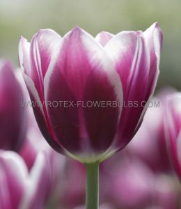 SUPER VALUE PKGS. TULIPA TRIUMPH 'SYNAEDA BLUE' 12/+ CM. (20 PKGS.X 25)