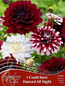 SYMPHONY OF COLORS PKGS. DAHLIA DECORATIVE MIX 'I COULD HAVE DANCED ALL NIGHT' II (25 PKGS.X 3)