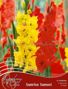 SYMPHONY OF COLORS PKGS. GLADIOLUS MIX 'SUNRISE SUNSET' 12/14 CM. (25 PKGS. X 18)