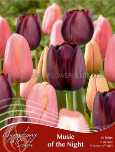 SYMPHONY OF COLORS PKGS. TULIPA 'MUSIC OF THE NIGHT' 12/+ CM. (25 PKGS.X 18)