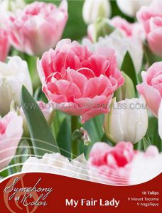 SYMPHONY OF COLORS PKGS. TULIPA 'MY FAIR LADY' 12/+ CM. (25 PKGS.X 18)