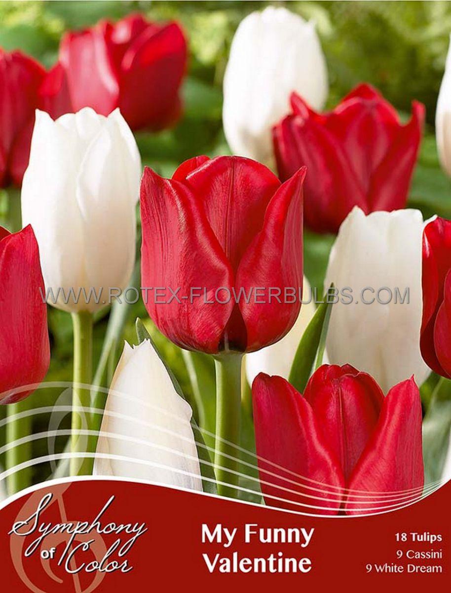 symphony of colors pkgs tulipa my funny valentine 12 cm 25 pkgsx 18