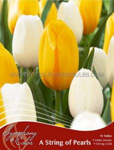 SYMPHONY OF COLORS PKGS. TULIPA 'STRING OF PEARLS' 12/+ CM. (25 PKGS.X 18)