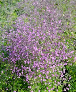 THALICTRUM (MEADOW RUE) DELAVAYI 'HEWITT'S DOUBLE' I (25 P.BAG)