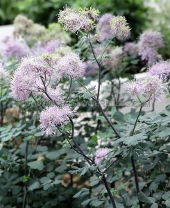 THALICTRUM (MEADOW RUE) HYBRIDA 'PURPLELICIOUS' I (25 P.BAG)
