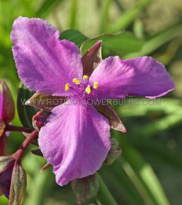 TRADESCANTIA (SPIDERWORT) ANDERSONIANA 'CONCORD GRAPE' I (25 P.BAG)