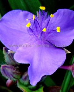 TRADESCANTIA (SPIDERWORT) ANDERSONIANA 'GOOD LUCK' I (25 P.BAG)