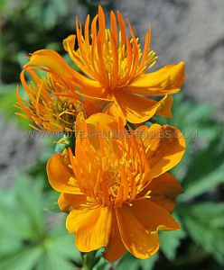 TROLLIUS (GLOBEFLOWER) CHINENSIS 'GOLDEN QUEEN' I (25 P.BAG)