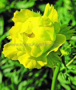 TROLLIUS (GLOBEFLOWER) EUROPAEUS 'LEMON SUPREME' I (25 P.BAG)