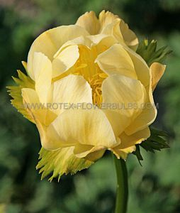 TROLLIUS (GLOBEFLOWER) HYBRIDA 'NEW MOON' I (25 P.BAG)