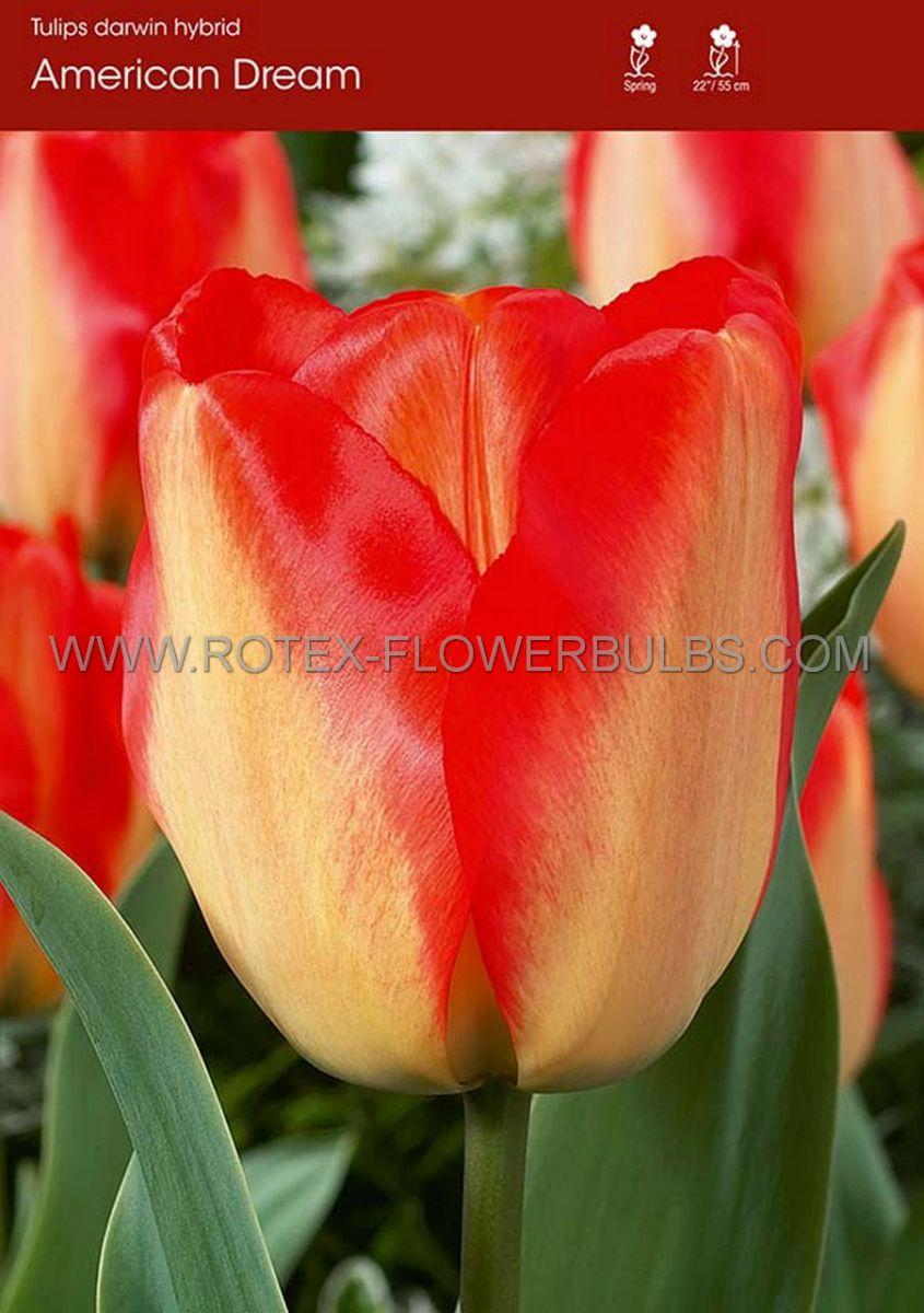 tulipa darwin hybrid american dream 12 cm 100 pbinbox