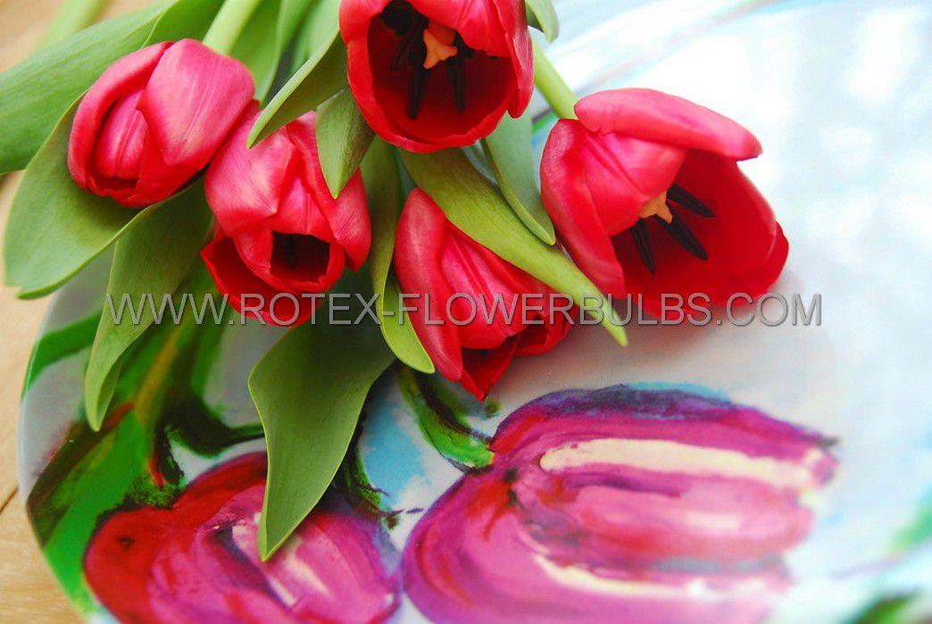 tulipa darwin hybrid apeldoorn 12 cm 100 pbinbox