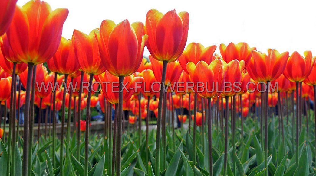 tulipa darwin hybrid apeldoorns elite 12 cm 100 pbinbox