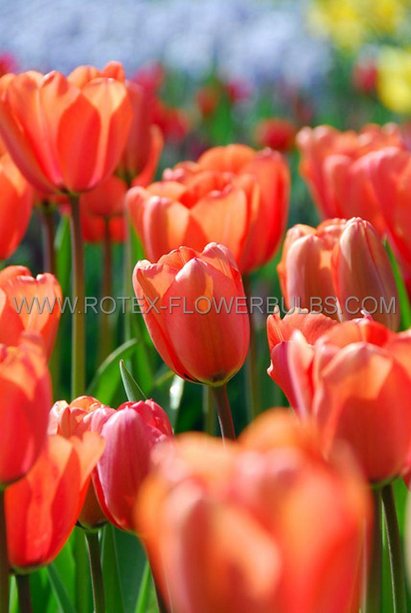 tulipa darwin hybrid apricot impression 12 cm 100 pbinbox