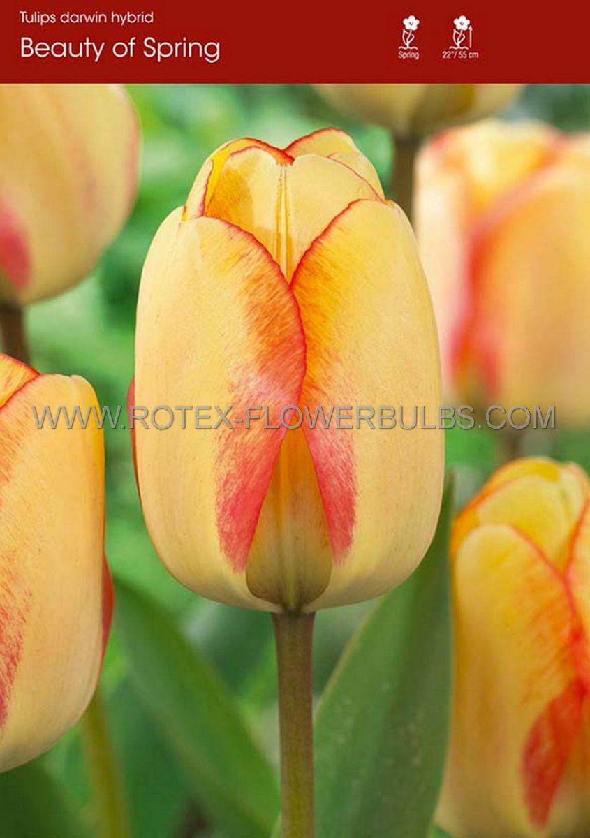 tulipa darwin hybrid beauty of spring 12 cm 100 pbinbox