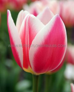 TULIPA DARWIN HYBRID 'CANDY APPLE DELIGHT' 12/+ CM. (100 P.BINBOX)