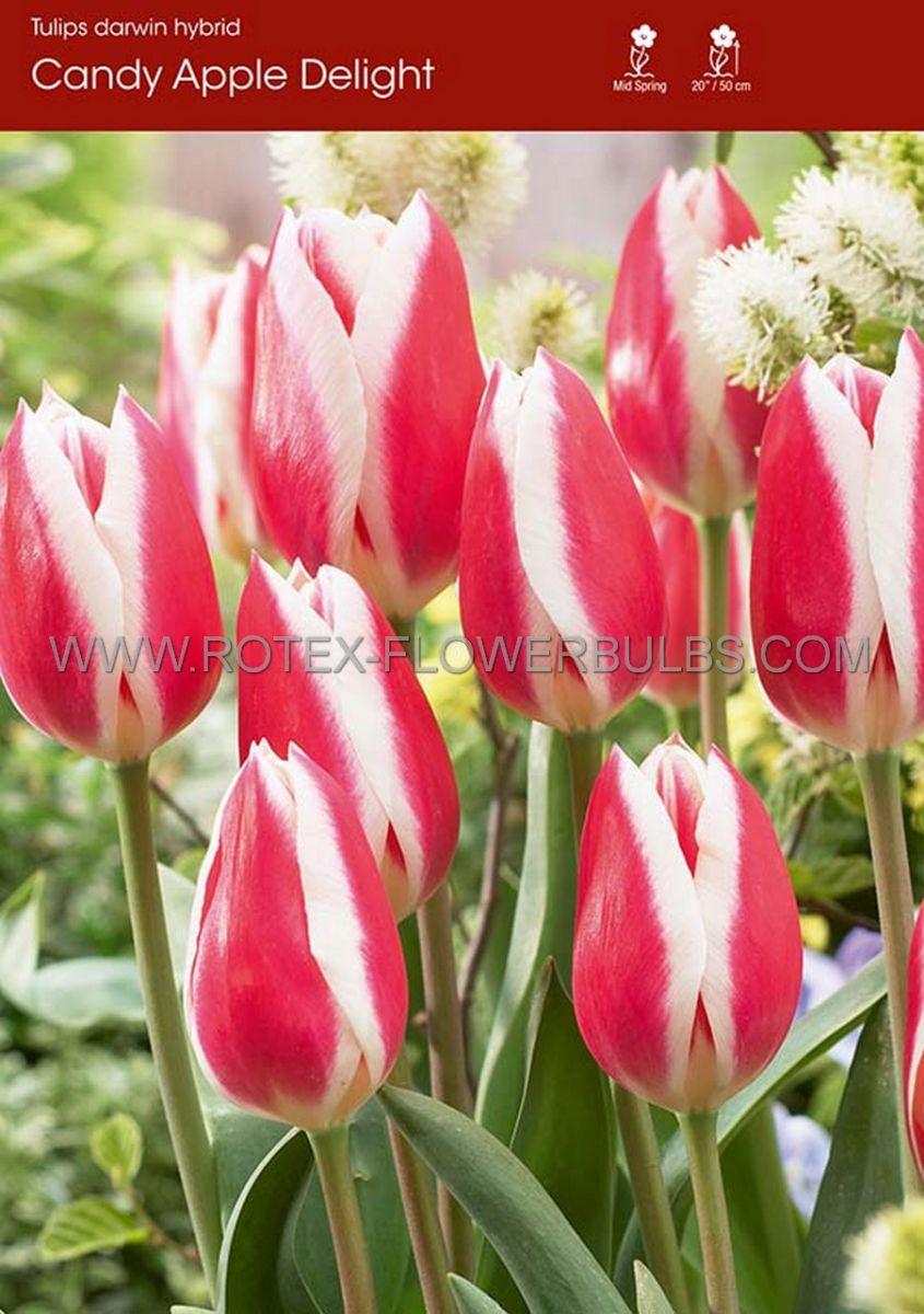 tulipa darwin hybrid candy apple delight 12 cm 100 pbinbox