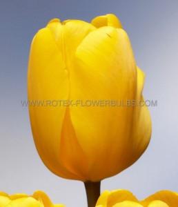 TULIPA DARWIN HYBRID 'GOLDEN OXFORD' 12/+ CM. (100 P.BINBOX)