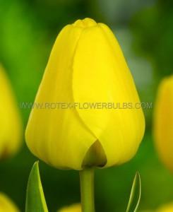 TULIPA DARWIN HYBRID 'GOLDEN PARADE' 12/+ CM. (100 P.BINBOX)
