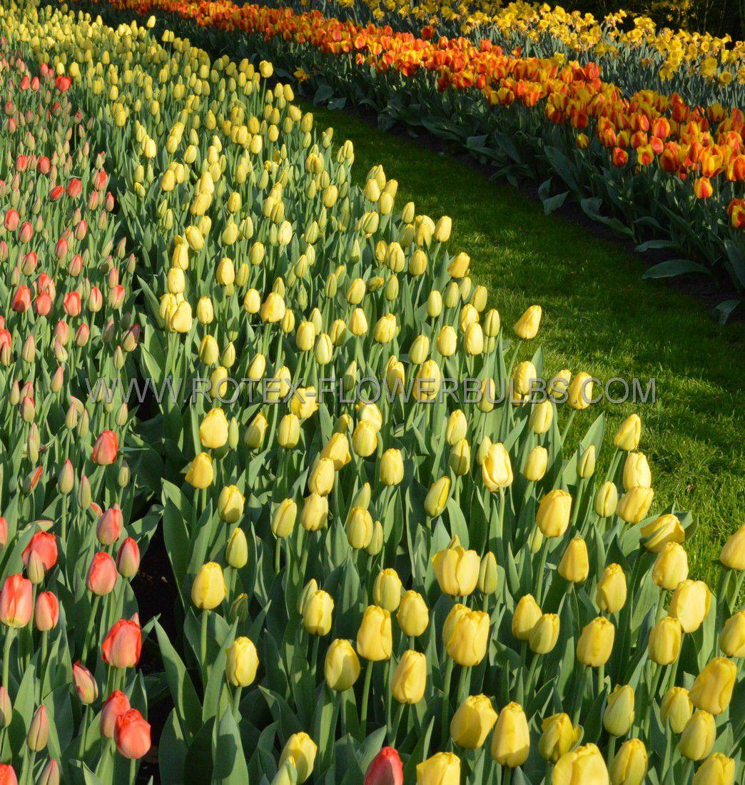 tulipa darwin hybrid golden parade 12 cm 500 pplastic tray