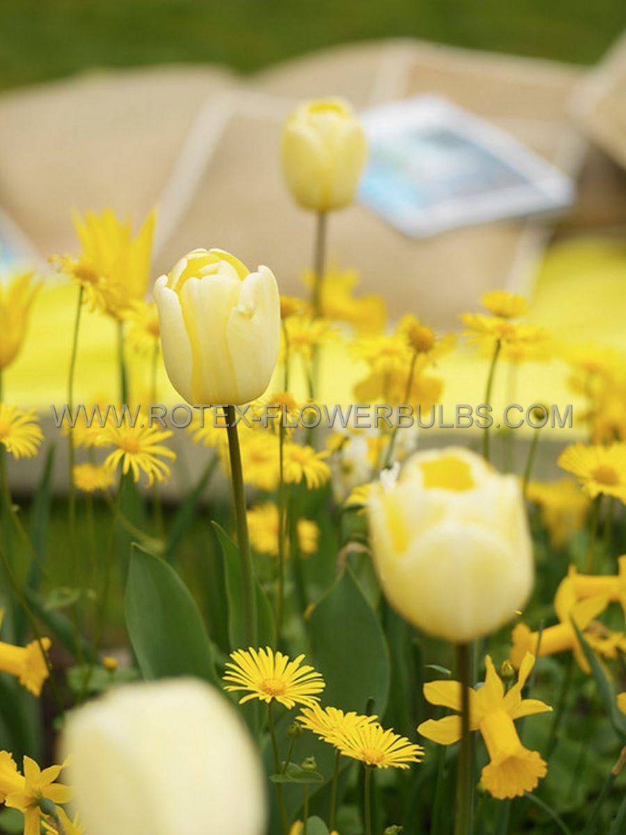 tulipa darwin hybrid ivory floradale jumbo size 14 cm 300 pplastic tray