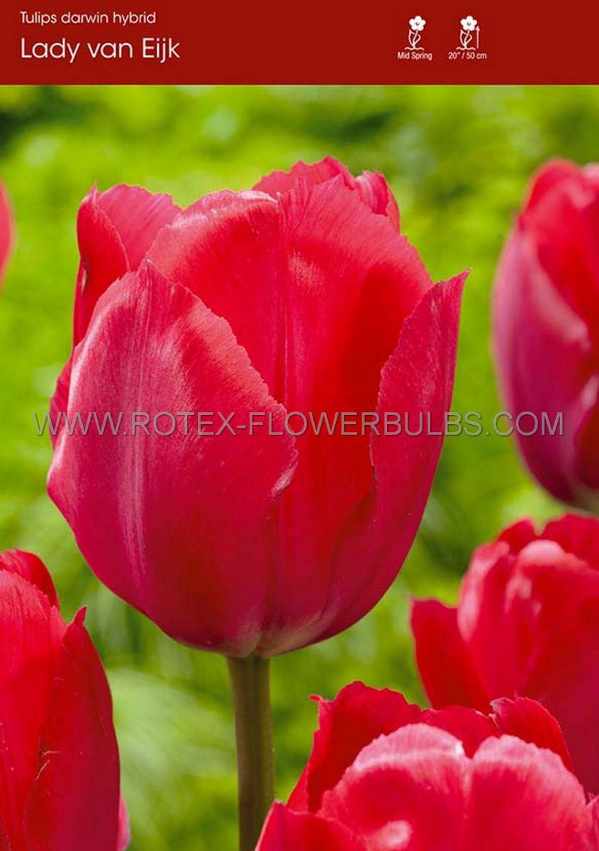 tulipa darwin hybrid lady van eyk 12 100 pbinbox