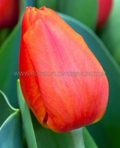 TULIPA DARWIN HYBRID 'ORANGE BALLOON' 12/+ CM. (10 PKGS.X 6)