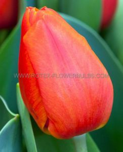 TULIPA DARWIN HYBRID 'ORANGE BALLOON' 12/+ CM. (100 P.BINBOX)