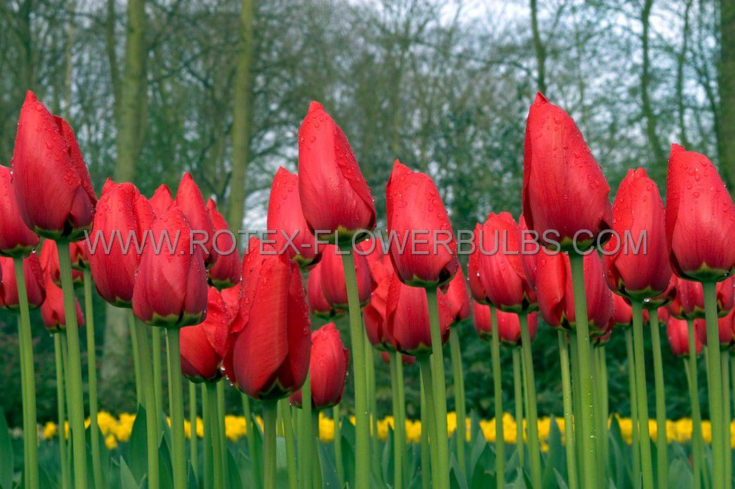 tulipa darwin hybrid oxford 12 cm 100 pbinbox