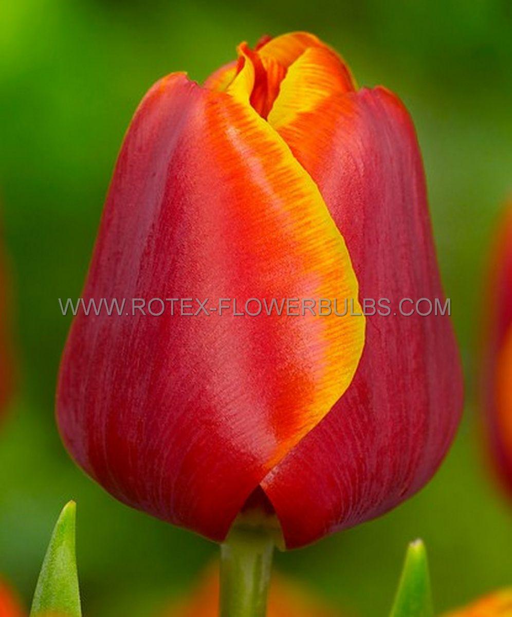 tulipa darwin hybrid oxfords elite 12 cm 100 pbinbox