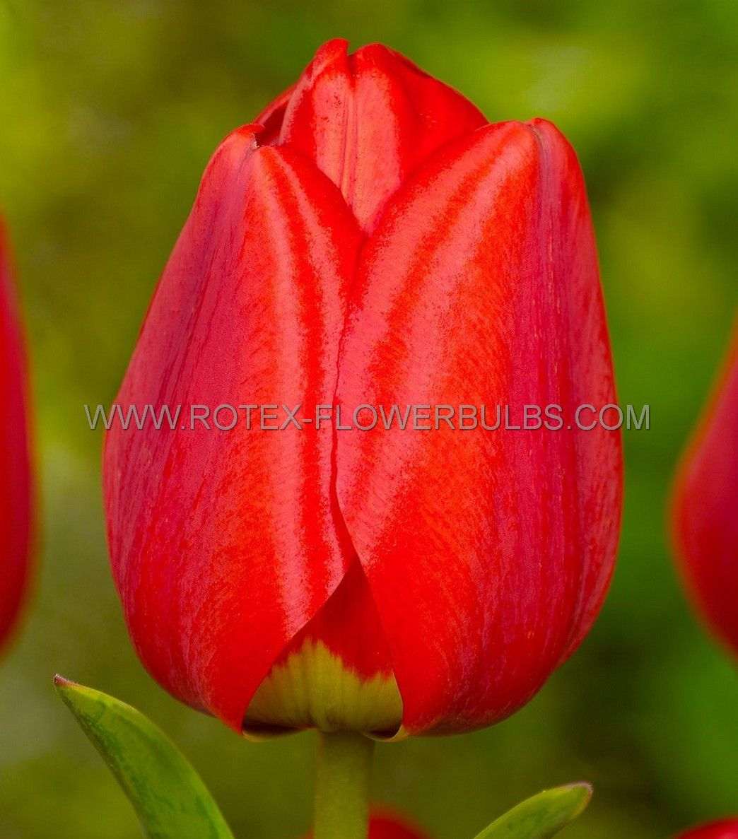 tulipa darwin hybrid parade 12 cm 100 pbinbox