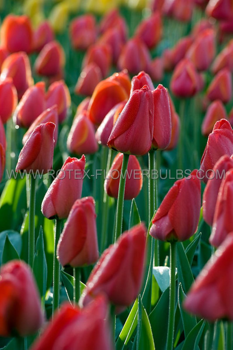 tulipa darwin hybrid parade jumbo size 1416 cm 300 pwooden crate
