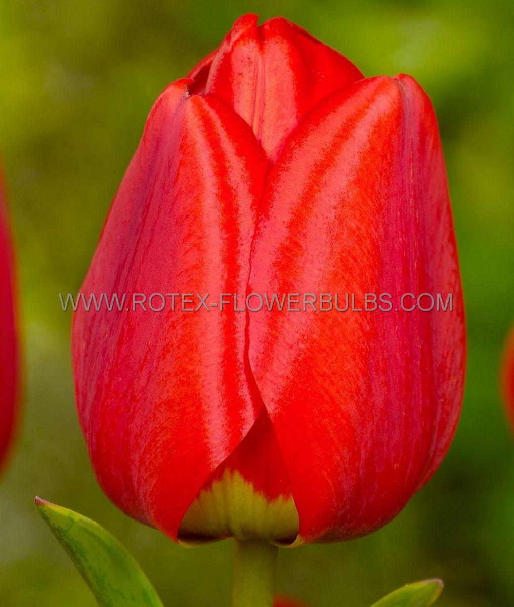 tulipa darwin hybrid parade jumbo size 14 cm 300 pplastic tray