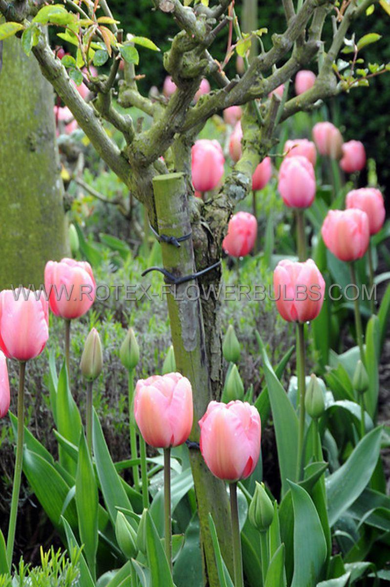 tulipa darwin hybrid pink impression 12 cm 500 pplastic tray