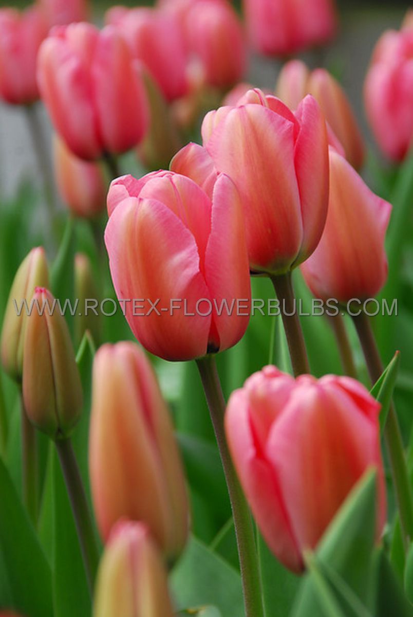 tulipa darwin hybrid pink impression jumbo size 1416 cm 300 pwooden crate