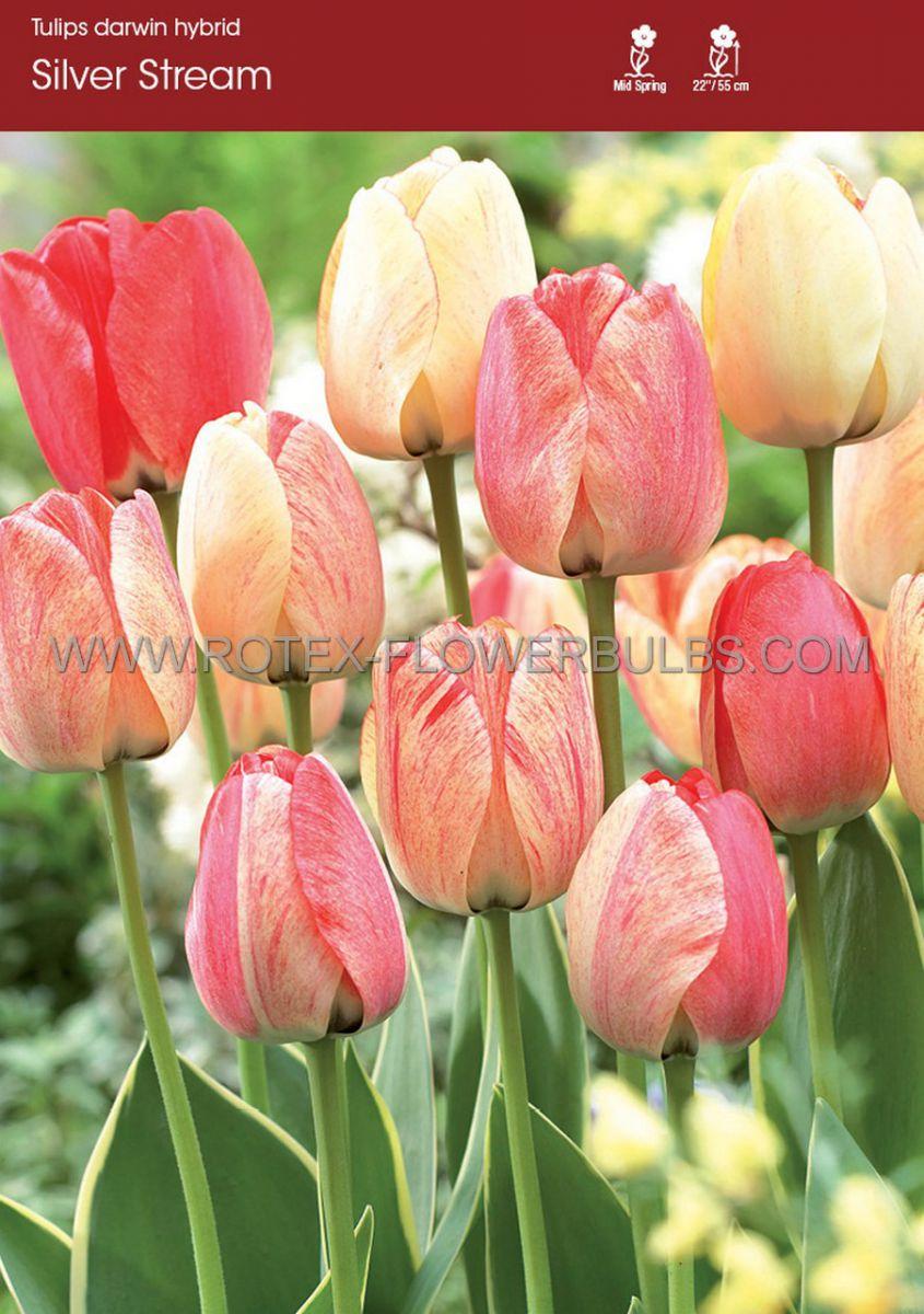 tulipa darwin hybrid silverstream 12 cm 100 pbinbox