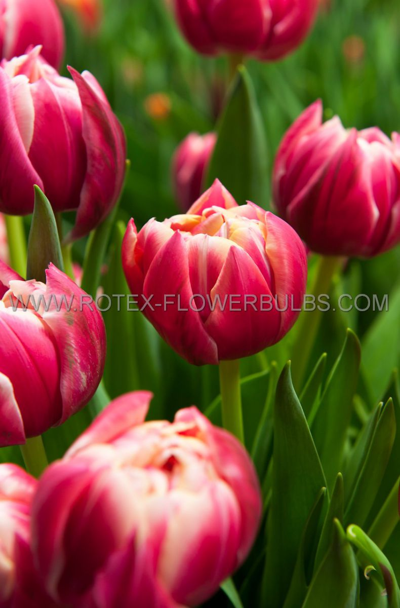 tulipa double early columbus 12 cm 10 pkgsx 10