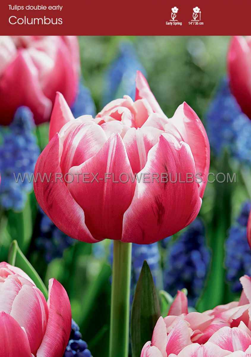 tulipa double early columbus 12 cm 100 pbinbox