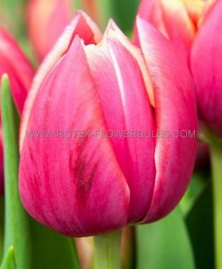 TULIPA DOUBLE EARLY 'COLUMBUS' 12/+ CM. (100 P.BINBOX)